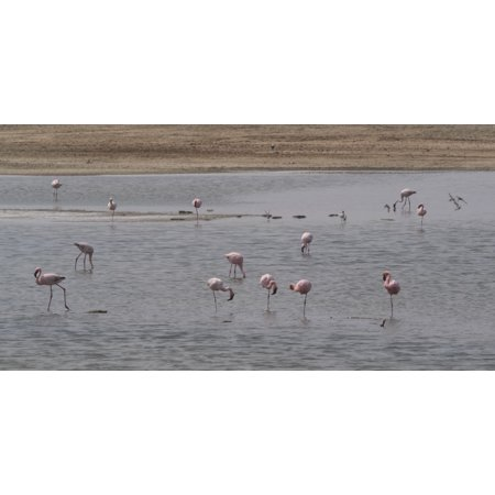 Pink Flamingos in a pond Mowe Bay Skeleton Coast National Park Kunene Namibia Stretched Canvas - Panoramic Images (36 x 12) (Skeleton Flamingos)