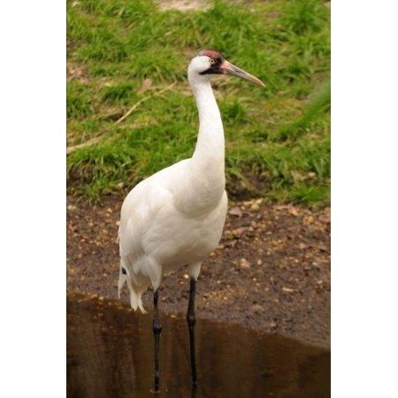 Whooping Crane Bird Journal: 150 Page Lined Notebook/Diary