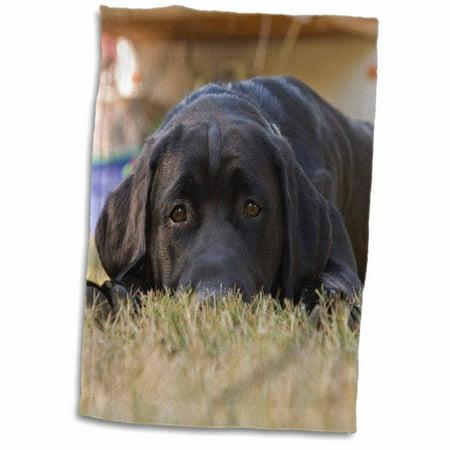 3dRose Labrador Retriever puppy dog - NA02 RBR0015 - Rick A. Brown - Towel, 15 by 22-inch
