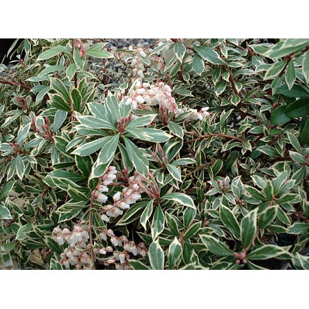 """Dwarf Lily of the Valley Shrub - Andromeda Little Heath - Hardy - 4"""" Pot"""