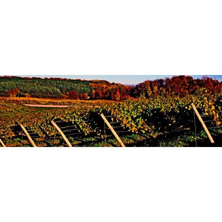 Grapevines in vineyard Traverse City Michigan USA Poster Print by Panoramic Images - Halloween City In Michigan