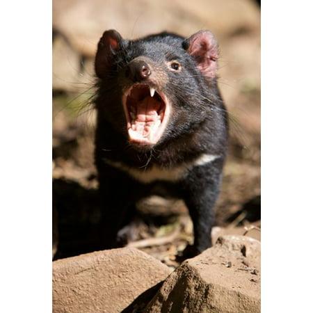 Angry Tasmanian Devil Canvas Art - Rebecca Jackrel DanitaDelimont (17 x 26)