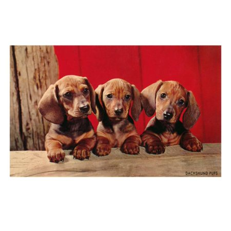 Three Dachshund Puppies Print Wall Art