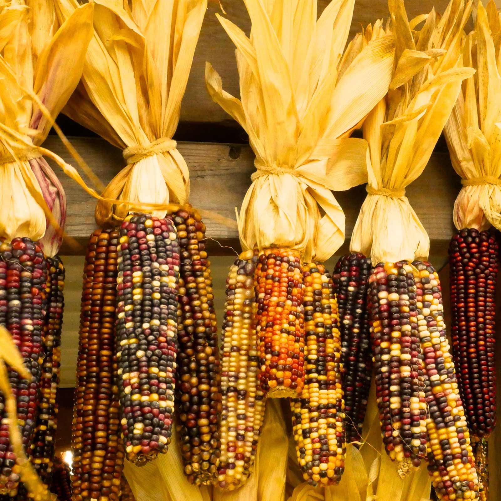 Ornamental Indian Corn Garden Seeds - 1 Lb - Non-GMO, Heirloom, Open Pollinated Vegetable Gardening Seeds - Decorative