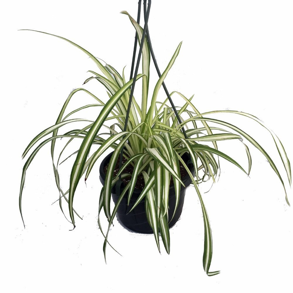 Growing A Spider Plant: Ocean Spider Plant