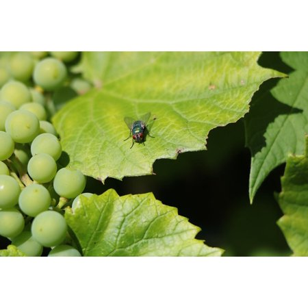 Canvas Print Sun Plant Grapes Vine Green Fly Wine Leaf Stretched Canvas 10 x