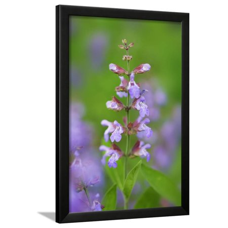 Salvia Flowers Growing in Field, Bavaria, Germany Framed Print Wall Art By Frank (Salvia Flowers)
