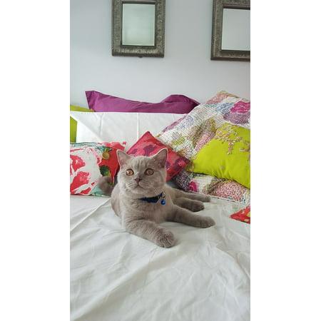 Canvas Print British Short Hair Kitten Cat Stretched Canvas 10 x (Best Food For British Shorthair)