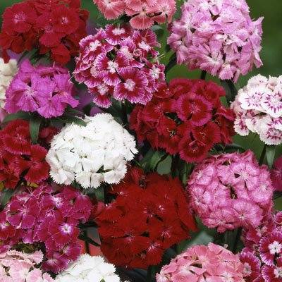 Image of Ferry Morse Sweet William Tall Dbl Mixed