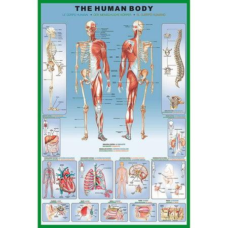 Human Body Educational Chart -