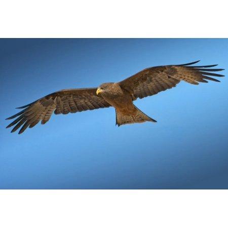 Tawny Eagle - Tawny Eagle Flying, Filling Frame Print Wall Art By Sheila Haddad