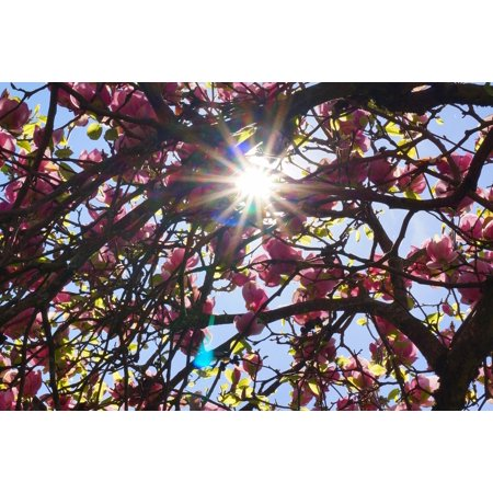 Canvas Print Aesthetic Spring Sun Magnolia Tree Tree Back Light Stretched Canvas 10 x -