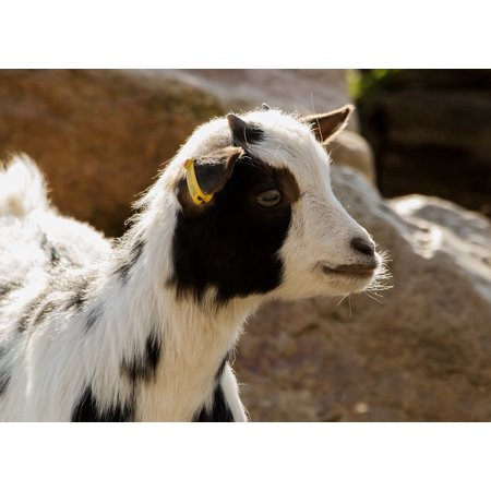 LAMINATED POSTER Domestic Goat Livestock Goat Zoo Mountain Goat Poster Print 24 x 36 - Mill Mountain Zoo Halloween