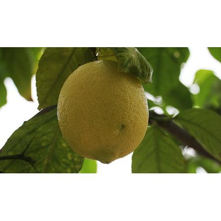 LAMINATED POSTER Vitamins Lemon Citrus Fruit Lemon Tree Citrus Food Poster Print 24 x