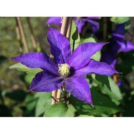 """Daniel Deronda Clematis Vine - Double Purple Blooms - 2.5"""" Pot"""