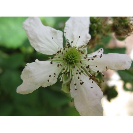 LAMINATED POSTER White Macro Bloom Blossom Blackberry Nature Poster Print 11 x 17 (Blackberry Blossom)