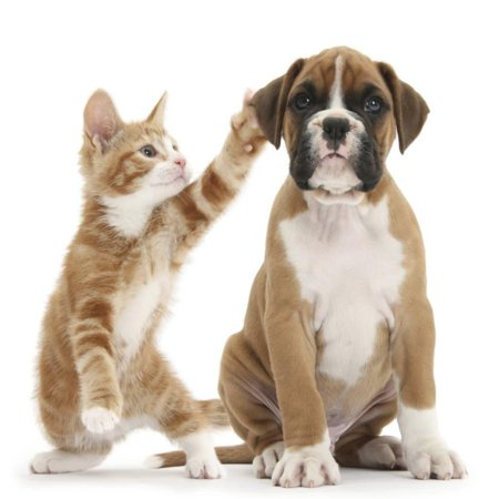 Cheeky Ginger Kitten, Ollie, 10 Weeks, Reaching Up and Batting the Ear of Boxer Puppy Cute Baby Animal Photography Print Wall Art By Mark (Boxer Puppies For Sale In New England)