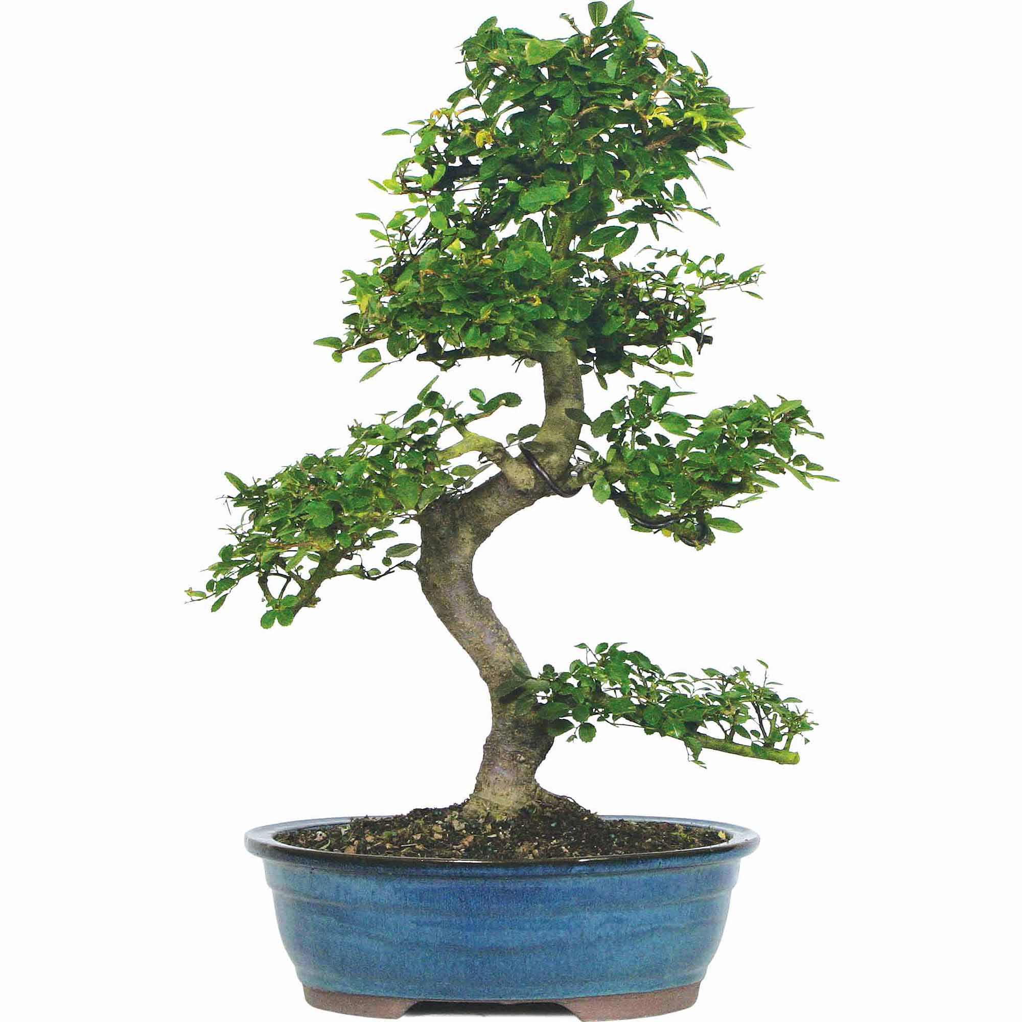 Chinese Elm Bonsai Tree by Brussel's Bonsai
