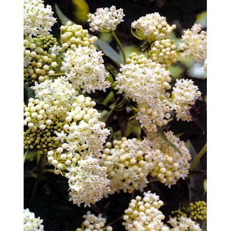 Ice Ballet Butterfly Weed - Asclepias - Live Plant - Gallon Pot