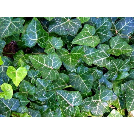 "English Ivy 8 Plants - Hardy Groundcover - Sun or Shade - 1 3/4"" Pots"
