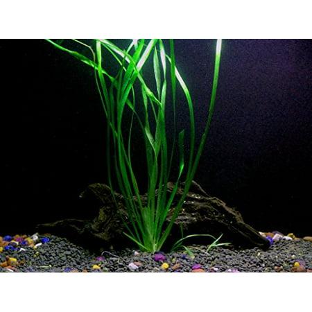 1 Vallisneria Italian Bunch - Beginner Tropical Live Aquarium Plant