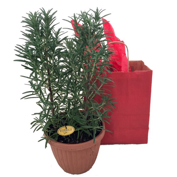 Rosemary Plant In Gift Bag 6 Pot Great Gift For Indoors Or