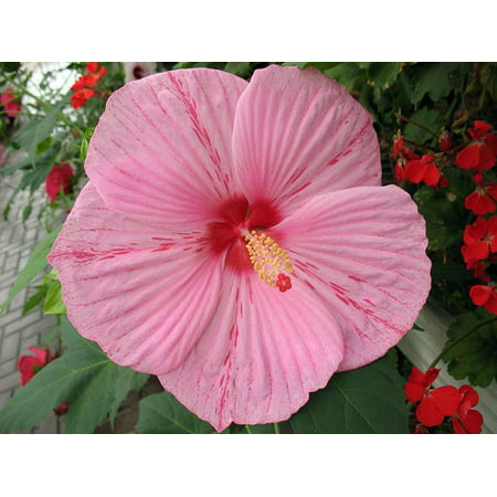 Peppermint Schnapps Giant Hibiscus Rose Mallow Live Plant Gallon