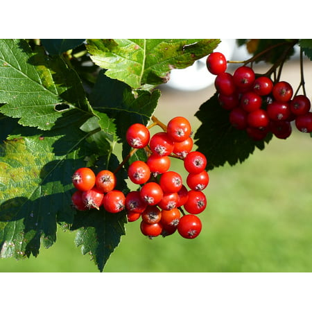 LAMINATED POSTER Twig Berry Rowan Berries Autumn Leaf Red Tree Poster Print 24 x 36](Roman Leaves)
