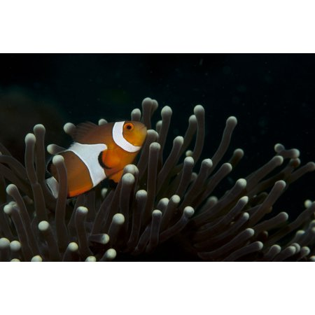 Flase clownfish in a magnificent sea anemone Poster Print by VWPicsStocktrek Images