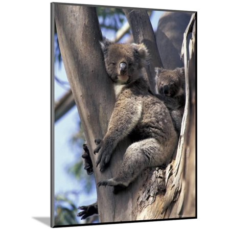 Mother and Baby Koala on Blue Gum, Kangaroo Island, Australia Wood Mounted Print Wall Art By Howie Garber - Kangaroo Halloween Costumes For Mom And Baby