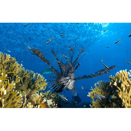 - Lionfish foraging amongst corals and reef fish Papua New Guinea Stretched Canvas - Steve JonesStocktrek Images (18 x 12)