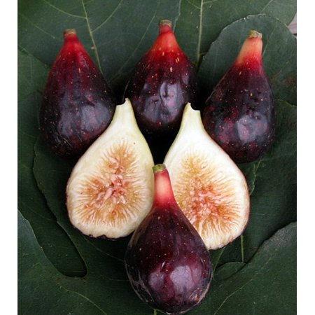 LSU Purple Edible Fig Plant - Ficus carica - Sweet - 4