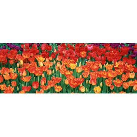 Close-up of tulips in a garden Botanical Garden of Buffalo and Erie County Buffalo New York USA Canvas Art - Panoramic Images (27 x