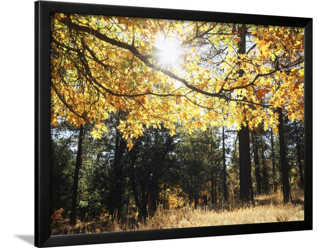 California, Laguna Mountains, Cleveland Nf, California Black Oak ...