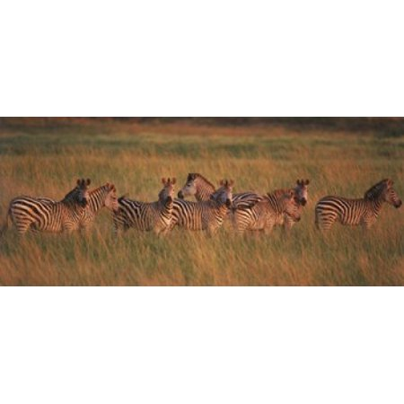Burchells zebras in a forest Masai Mara National Reserve Kenya Poster