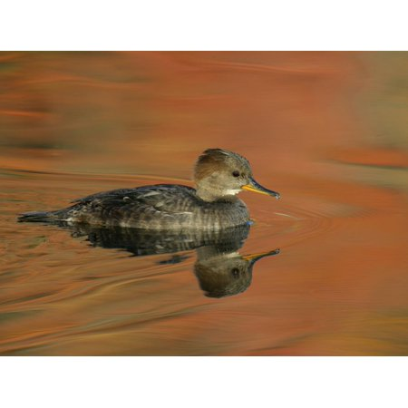 Close-up of Female Hooded Merganser in Water, Cleveland, Ohio, USA Print Wall Art By Arthur - Halloween Stores In Cleveland Ohio