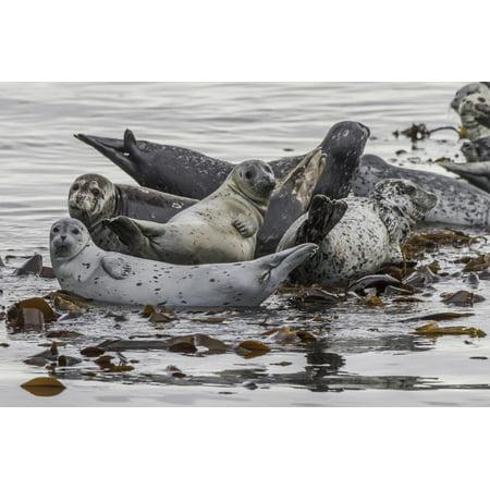 USA, Alaska, Katmai National Park. Harbor Seal resting on seaweed. Print Wall Art By Frank (National Harbor Com)