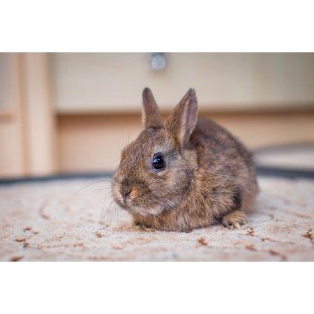 Hare Dwarf Rabbit Small Hare Nager Dwarf Bunny Poster Print 24 x 36](Bunny Print)