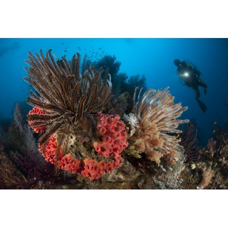 Diver looks on at a Raja Ampat reefscape covered in crinoids Indonesia Canvas Art - Steve JonesStocktrek Images (18 x 12)