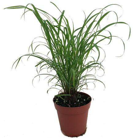 Citronella Grass Plant ഇഞ്ചിപ്പുല്ല് Cymbopogon Repels Mosquitos 4 Quot Pot Walmart Com