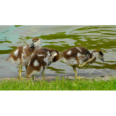Canvas Print Cute Egyptian Goose Chick Sweet Creature Chicks Stretched Canvas 10 x 14](Sweet Nude Chicks)