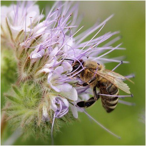 Packet of 800 Seeds, Lacy Phacelia (Phacelia tanacetifolia) Open Pollinated Seeds by Seed Needs