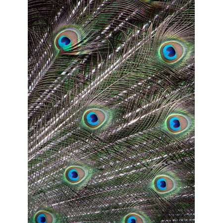 Supply Feather Light 4 Wheel (LAMINATED POSTER Peacock Feathers Wheel Arrangement Male Poster Print 24 x 36)