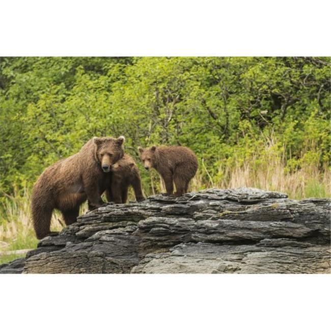 Posterazzi DPI12291240 Brown Bear Sow & Cubs in Kukak Bay Katmai National Park & Preserve Alaska Poster Print by Carl Johnson, 19 x 12