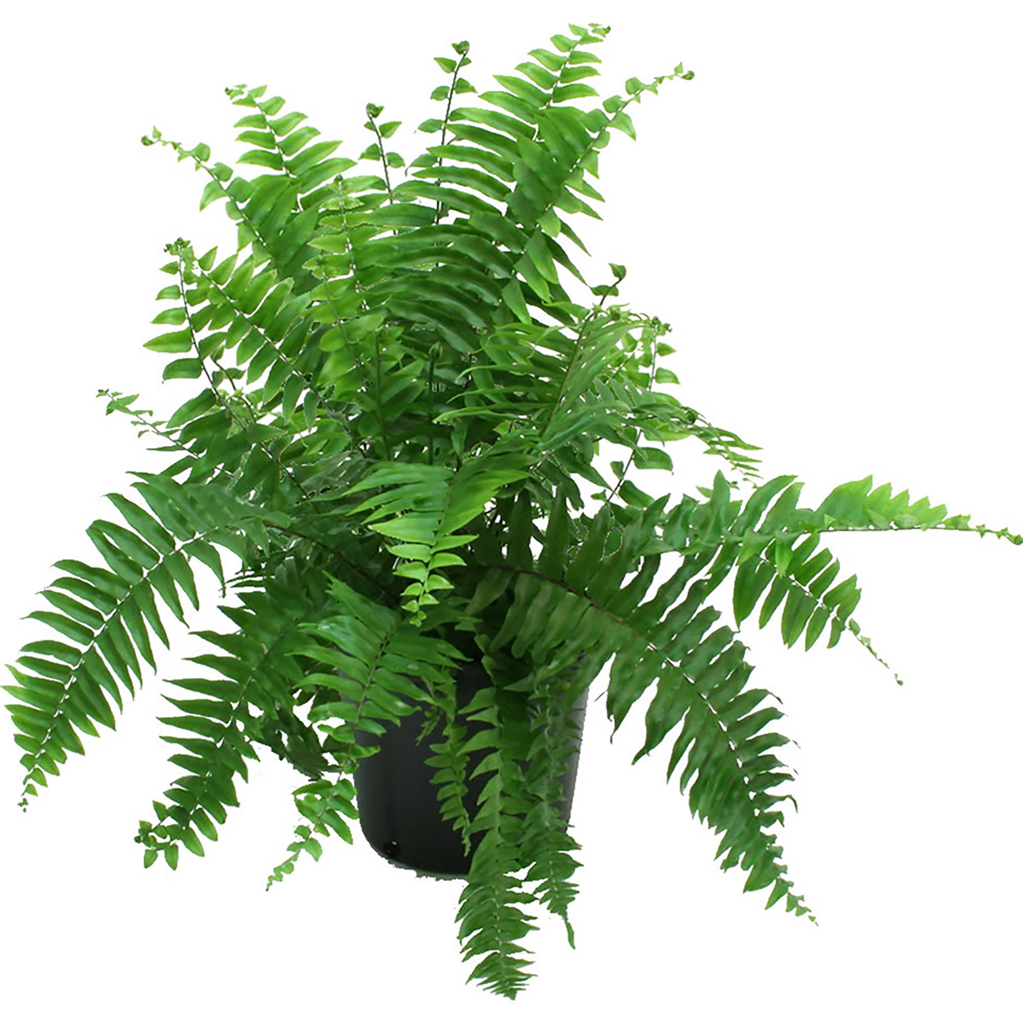 Delray Plants Live Macho Fern Plant in 10 inch Grower Pot