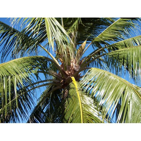 LAMINATED POSTER Nature Caribbean Blue Sky Frond Coconut Tree Palm Poster Print 24 x 36