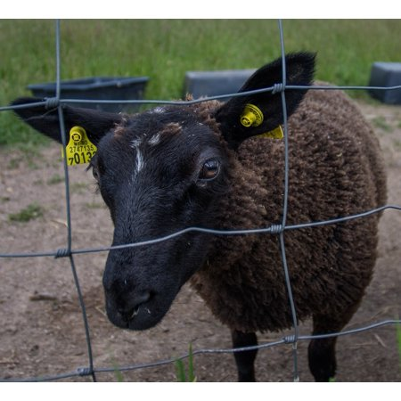 Canvas Print Wool Fenced Mammal Fence Sheep Black Sheep Farm Stretched  Canvas 10 x 14