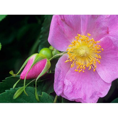 Rose flower British Columbia Canada Poster Print by Tim Fitzharris