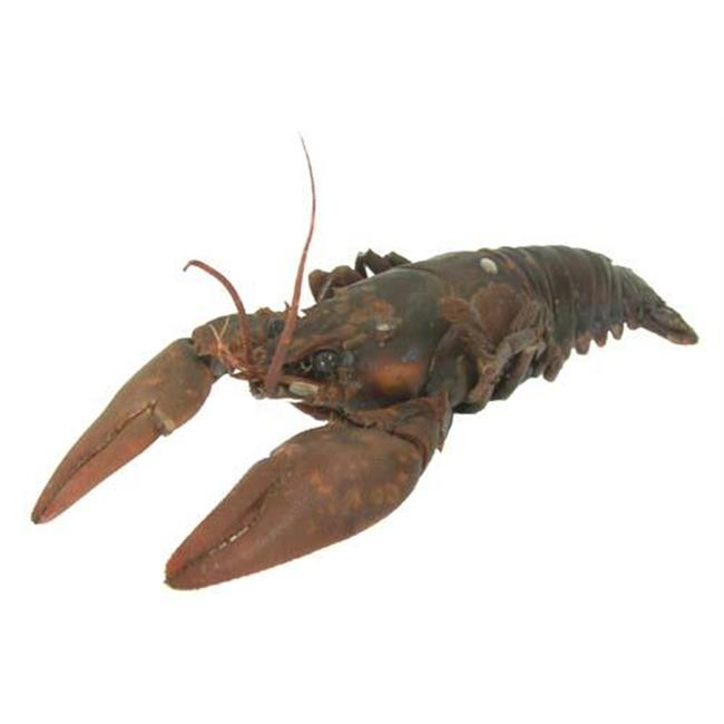 Olympia Sports 13702 Crayfish - 4 in. - 6 in. - Pack of 10
