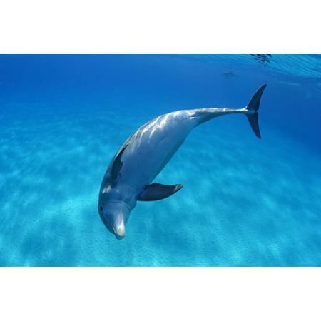 Caribbean Bahamas Bahama Bank Atlantic Bottlenose Dolphin Tursiops Truncatus Canvas Art   Dave Fleetham  Design Pics  36 X 24